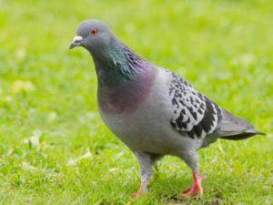 Ngủ mơ thấy chim bồ câu là điềm tốt hay xấu ? Đánh số mấy ?