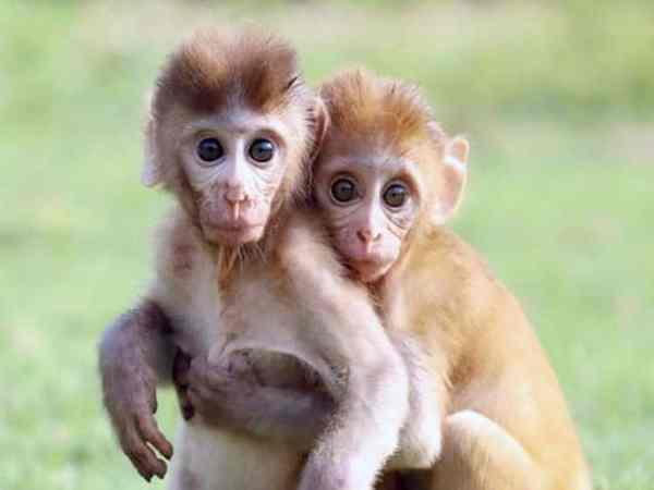 Nằm mơ thấy khỉ có ý nghĩa gì thú vị
