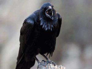 Ngủ mơ thấy con quạ là điềm báo hên hay xui ? Đánh lô đê số mấy ?