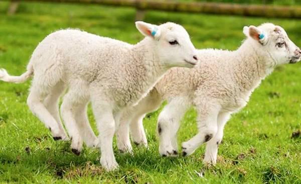 Nằm mơ thấy con cừu đánh con số gì đánh lô con nào