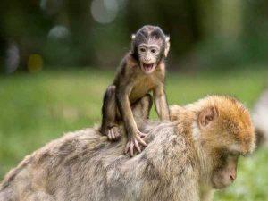 Nằm mơ thấy khỉ đánh số đề con gì ? Là điềm báo gì ?