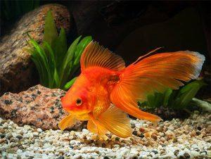 Mơ thấy cá vàng là điềm hên hay xui, ghi cặp số mấy?