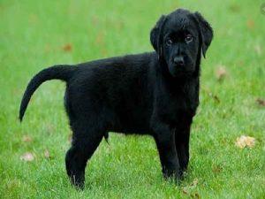 Mơ thấy chó đen là điềm gì? Đánh con số gì khi mơ thấy chó đen