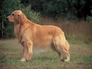 Nằm mơ thấy chó vàng đánh con gì? Điềm báo giấc mơ
